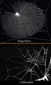 efecte de la cafeína en les aranyes